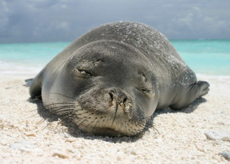 hawaii, hawaiian monk seals, seals, monk seals, wildlife, endangered species, endangered animals, wildlife conservation, wildlife sanctuary, wildlife, oceans, animal welfare
