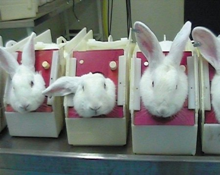 Rabbits used for animal testing in stocks. Photo Credit: BUAV