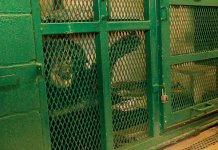 Chimpanzee, Captive animals, captive primates, monkeys