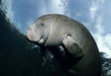 Manatee, Conservation, Wildlife, Oceans