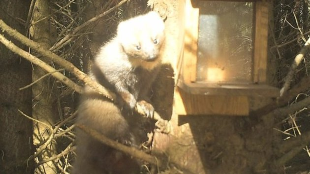 Pine martens are considered to be Ireland's rarest native mammal. Photo Credit: BBC