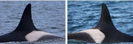 Wild orca lives over a century. Photo credit: Center for Whale Research