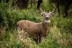 Deer naturalresources.msstate.edu
