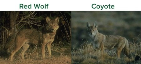 Red Wolves, Coyotes, Hunting, Red Wolf Hunting, Coyote Hunting, Animal Welfare Institute