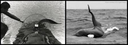Orcas, Killer Whales, Dorsal Finns, SeaWorld