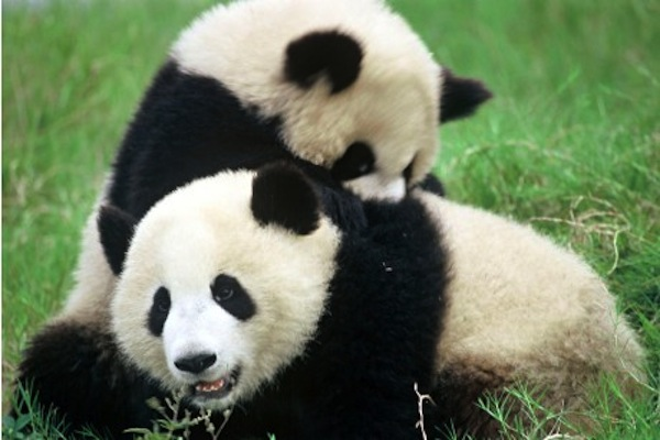 Panda, Baby Pandas, Panda Cubs, Panda Facts, Animal Facts, Cute Animal Pictures, Bamboo