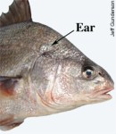 Fish Ear