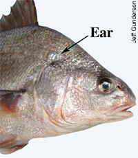 Fish use their lateral line system of receptors to detect underwater movement. Photo credit: Minnesota Sea Grant