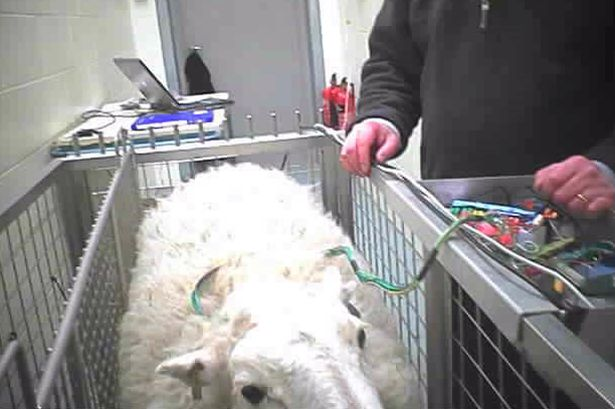 Sheep used in electrode wire testing suffers unnecessarily. Photo credit: BUAV