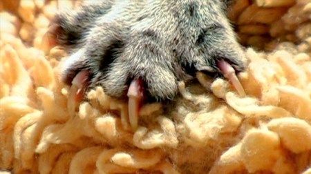 Cat claws are embedded within their bones. Photo Credit: pawprojectmovie.com