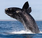The whale habitat will expand by over 45,000 square miles. Photo credit: NewBedfordGuide.com