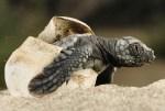 hatching loggerhead