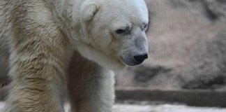 Arturo is the mascot of the Mendoza Zoo. Photo credit: Breitbart.com