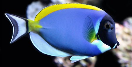 Surgeonfish clean one another by eating parasites off other fish bodies. Photo Credit: fishbreeds.net