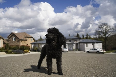 Pets, life with pets, dogs, french poodle, John Steinbeck