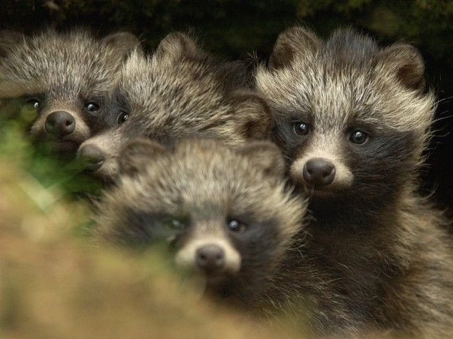 raccoon, raccoon dogs, fur, fashion, mink, fur trade
