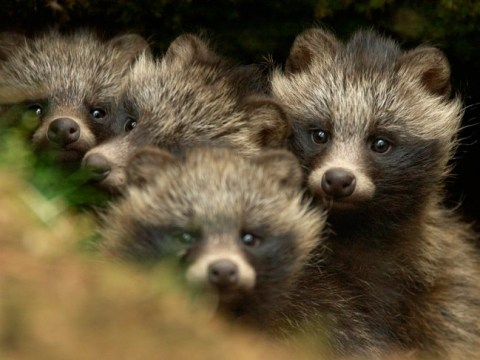 raccoon, raccoon dogs, fur, fashion, mink, fur trade
