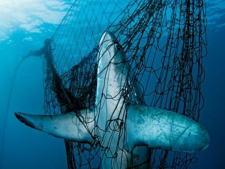 Capturing sharks in gill nets can be life threatening. Photo credit: Brian Skerry