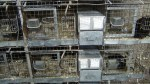 Chinchillas In Cages