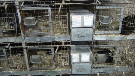 Chinchillas naturally live in herds of up to 100 animals, but most of the chinchillas at Valley View were confined alone and kept isolated. Photo Credit: PETA