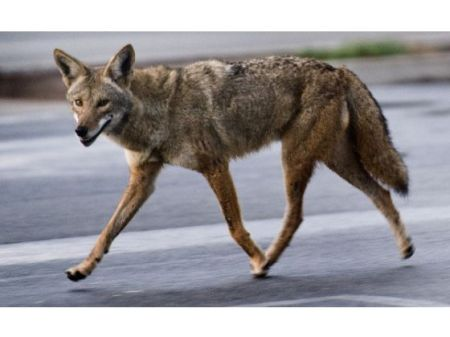 Seal Beach City Council members approved a plan this week to immediately begin trapping and euthanizing coyotes who in the past year alone have killed an estimated 30 pets in their community. /Photo credit: OC Register