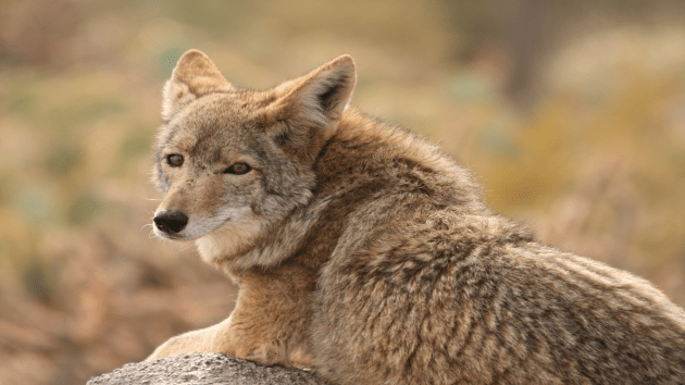 Some animal behavior experts believe a trap and kill program could cause more harm since the coyotes that get caught in the traps are usually the weaker ones, leaving larger packs of more aggressive coyotes.