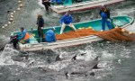 Dolphin hunters corral hundreds of dolphins at a time. Photo credit: Sea Shepherd/EPA