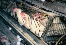Since many chickens cannot support their own weight, they die of dehydration, unable to get to water. Photo credit: advocacy.britannica.com