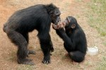 Chimpanzees, chimps, animal sanctuaries