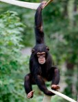 Chimp hanging from a tree