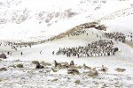 Wildlife, gallery, wildlife gallery, wildlife photographer of the year, competition, king penguins, penguins, fur seals, seals