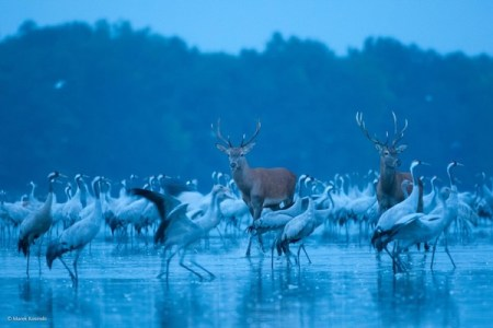 Wildlife, gallery, wildlife gallery, wildlife photographer of the year, competition, red deer, deer, cranes