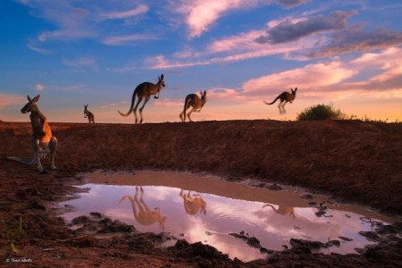 Wildlife, gallery, wildlife gallery, wildlife photographer of the year, competition, kangaroo