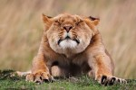 Wildlife, gallery, wildlife gallery, wildlife photographer of the year, competition, lion