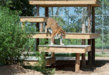 Tigers, Big Cats, Zoo Animals, Animal Sanctuary