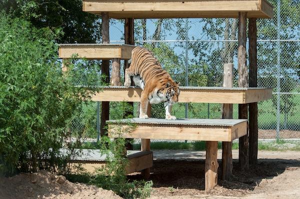Tigers, Big Cats, Zoo Animals, Animal Sanctuary