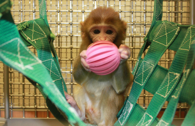 Harry Harlow first isolated infant primates from their mothers in the 1960s. Photo credit: Change.org