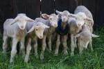 Lambs, animal sanctuary, saving animals, cute little lambs, cute animal pictures