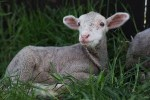 Lambs, animal sanctuary, saving animals, cute little lambs, cute animal pictures