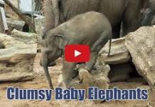 cute animal video: clumsy baby elephants