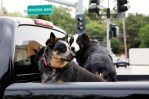 dogs in back of pickup truck bed