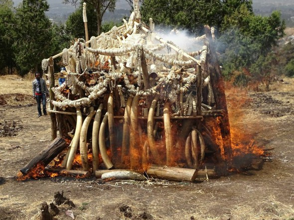 Ethiopia today joined ten other governments that have destroyed all or part of their ivory stockpiles. Photograph by and courtesy of Zeleke Tigabe Abuhay/African Wildlife Foundation.