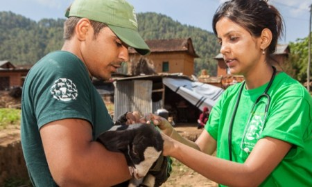 Humane Society International staff give veterinary attention to a goat after the earthquake in Nepal. Photograph: Thomas Kelly/Humane Society International