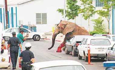 Tyke the elephant escaped from a Hawaiian circus on August 20, 1994. Photo Credit: Tipped Ear Clan