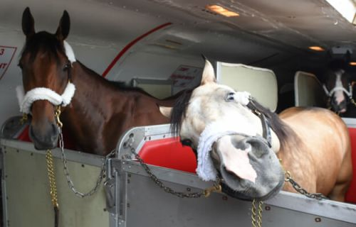 American Pharoah and Smokey on their way to Belmont Park on June 2. Photo Credit: www.thoroughbredracing.com