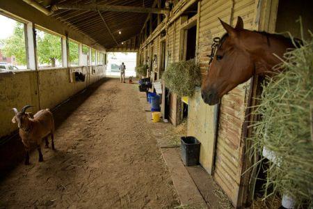 Fudgie the goat comforts several race horses.