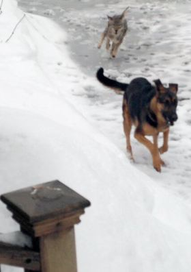 A coyote chasing a local resident's pet shepherd mix, before she closed the door on the animal seconds after her dog made it safely into the house. Photo Credit: Karen Hart