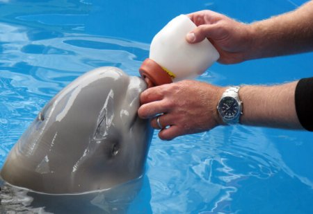 This photo taken July 4, 2012, at the Alaska SeaLife Center in Seward, Alaska, shows Dennis Christen of the Georgia Aquarium feed a bottle to a baby beluga calf being rehabilitated at the center. The whale was approximately two days old when it was found in Bristol Bay, Alaska, and separated from its mother. Staff from the Alaska SeaLife Center is receiving help with the whale's care from the Georgia Aquarium in Atlanta, Shedd Aquarium in ChiCago and SeaWord in San Diego.  (AP Photo/Mark Thiessen)