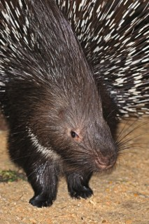 A porcupine. Photo Credit: Eduard Kyslynskyy