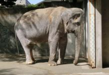 Hanako was originally sent to the Ueno Zoo when she was 2 years old. Photo credit: Express